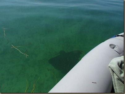 kayaking around sunshine key, leopard ray