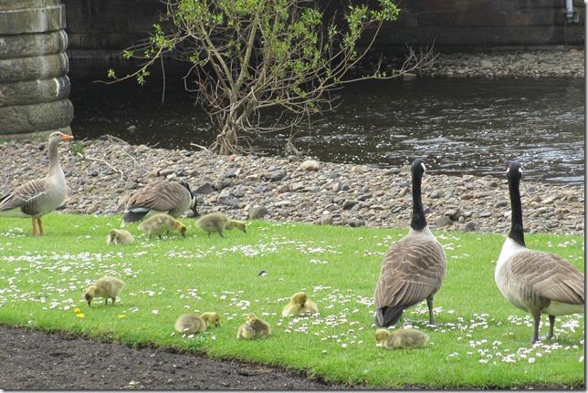 goslings-1
