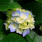 Hydrangeas.jpg