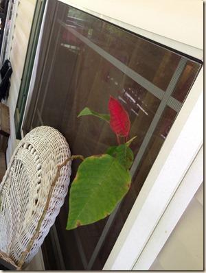 4 yo Poinsetts-red leaf