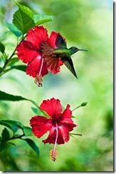 hibiscus flor vermelha