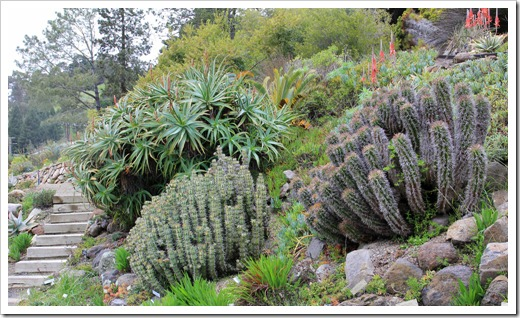 121228_UCBotGarden_Euphorbia-coerulescens- -horrida_01
