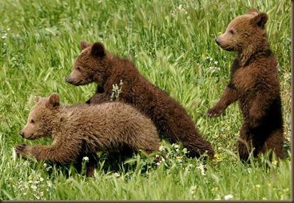 crias oso pardo