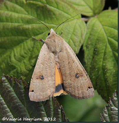 large-yellow-underwing-1