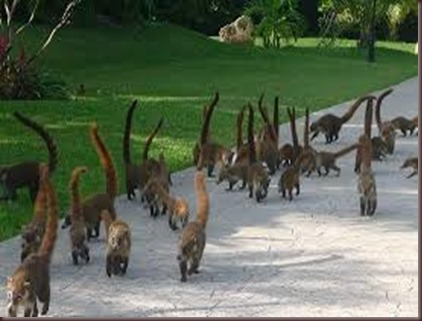 Amazing Pictures of Animals Coati Nasua. Alex (11)