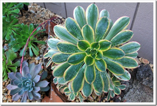 121220_first_frost_Aeonium-Sunburst_05