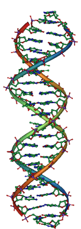 DNA elica destrogira (Wikipedia)