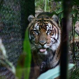 #safari #tiger #sumatrantiger by Violator Fotography - Animals Lions, Tigers & Big Cats