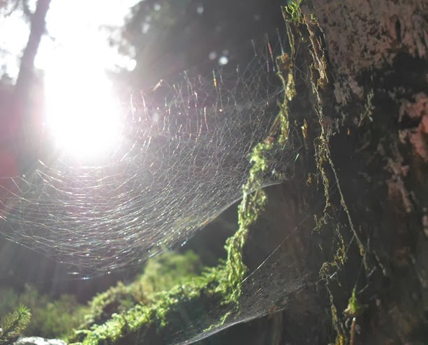Spinnensonne