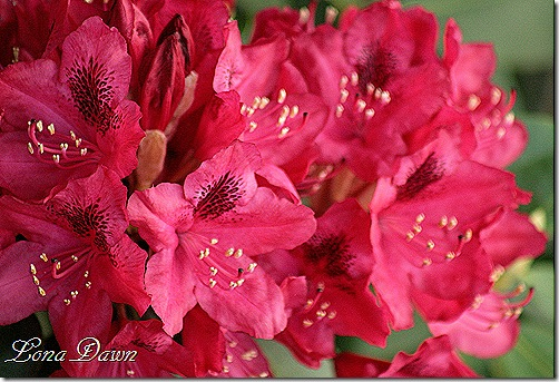 Rhododendron_Red2