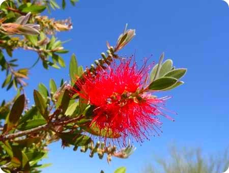 scrub-brush-flower