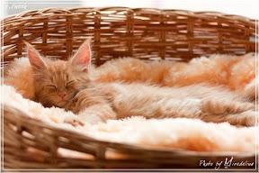 Фото история котят мейн кун в возрасте 7,5 недель 32