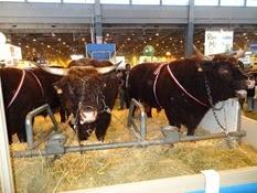 2015.02.26-075 vache Salers