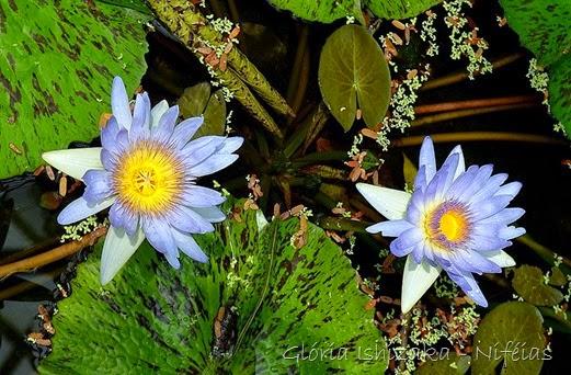 Glória Ishizaka - ninfeia - nenufar 1
