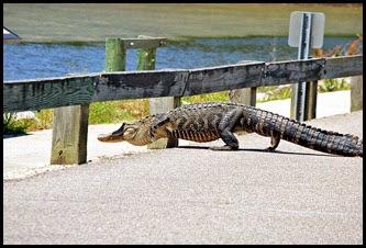 03a8e - Causeway- Gator crossing - Duck!!