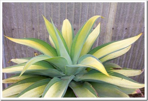 120929_SucculentGardens_Agave-attenuata-variegata_01