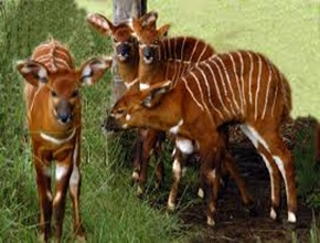 Amazing Pictures of Animals, photo, Nature, exotic, funny, incredibel, Zoo, Western or Lowland bongo, Tragelaphus eurycerus eurycerus, Mammals, Alex (8)