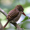 Banded Kingfisher-05.jpg
