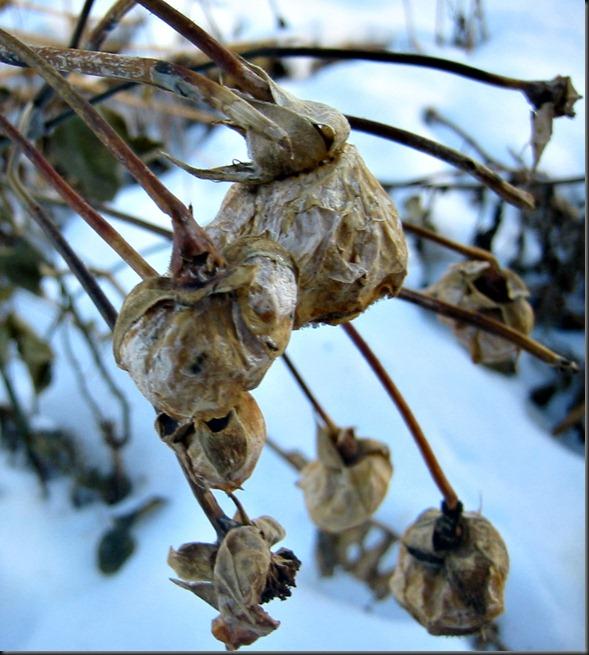 Vintervisne roser