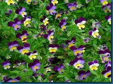 host plant viola tri-color