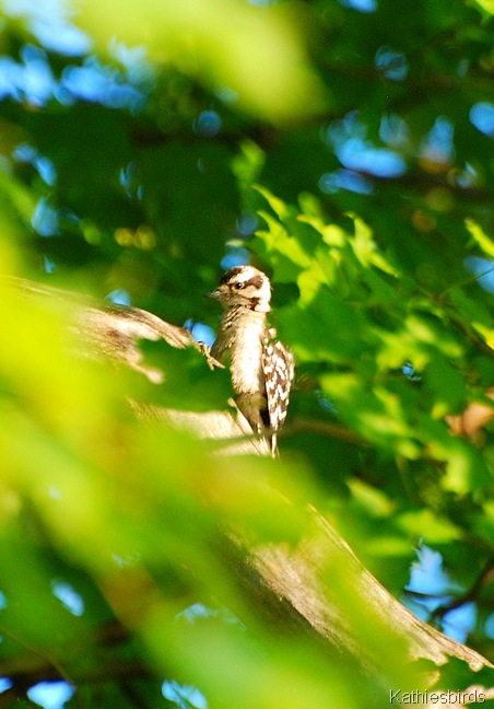19. downy woodpecker-kab