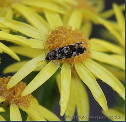 Cork-Moth-Nemapogon-cloacella-3