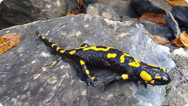 saucer Salamander-olympus