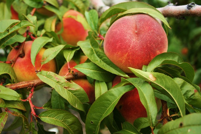 Peaches in Peachland