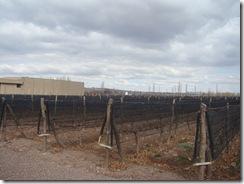 Parreral nem tão verdejante assim em Mendoza