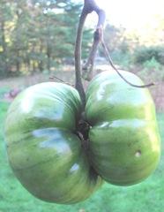 YOYO tomatoes 2