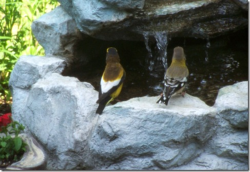 grosbeak couple