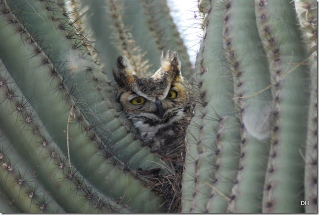 02-27-14 A Great Horned Owl Casa Grande (76)