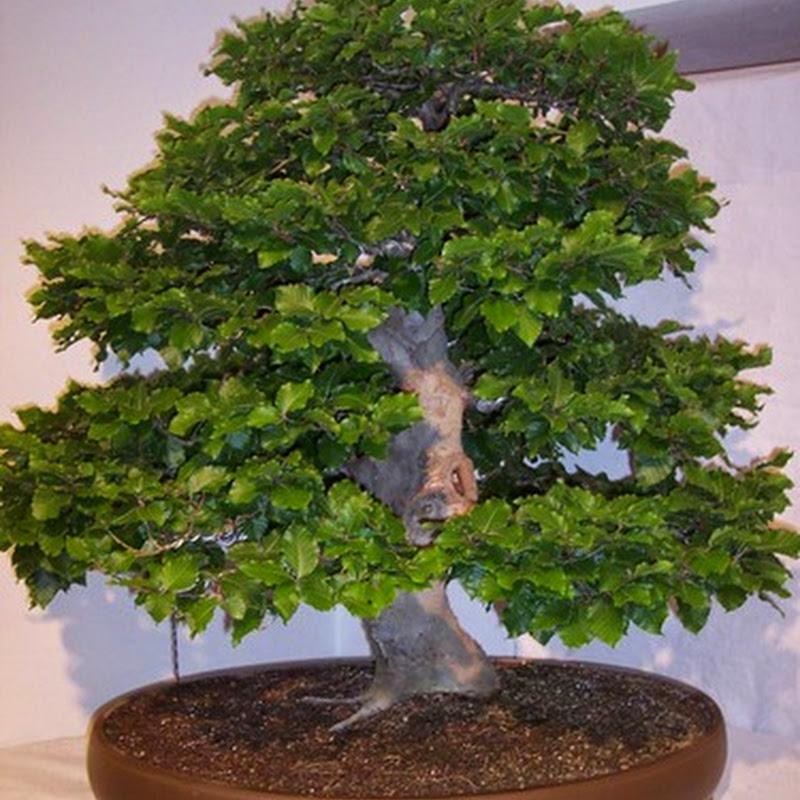 La coltivazione del faggio a bonsai è particolarmente indicata, soprattutto nello stile a bosco.