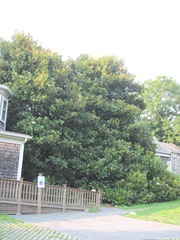 Ed Gorey House side of house w magnolia tree3