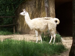 2009.05.22-017 lama