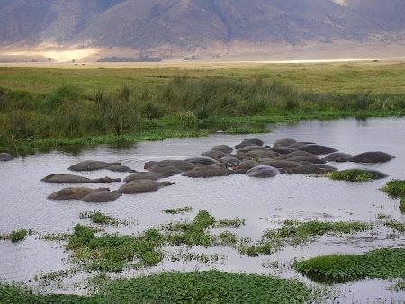 African Safari: Hippopotamuses in Ngorongoro