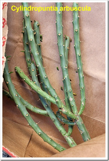 111107_candy_cylindropuntia_arbuscula_cuttings