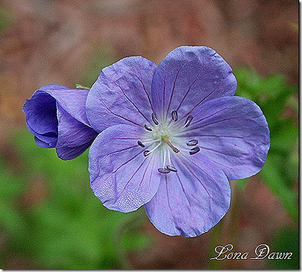 Geranium_Bloom