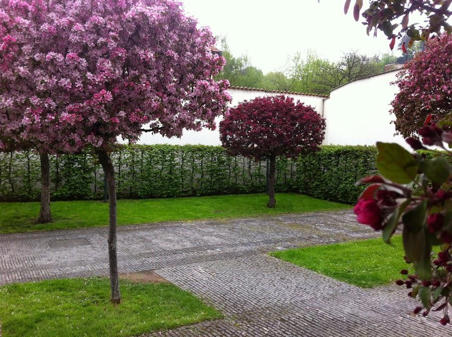 По листьям этот куст похож на вишню, но в наших краях весной она белоснежная