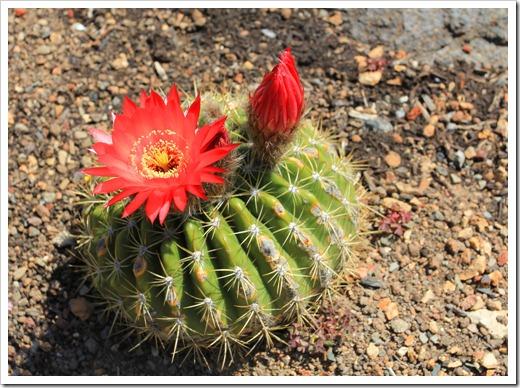 130428_UCBG_SpringSale_Echinopsis-korethroides_02