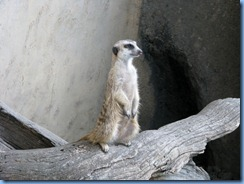 0257 Alberta Calgary - Calgary Zoo Destination Africa - African Savannah - Slender-Tailed Meerkat