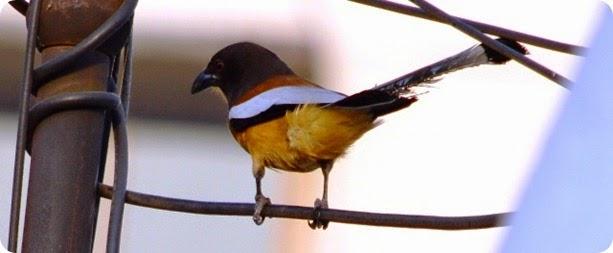 Indian Treepie (4)