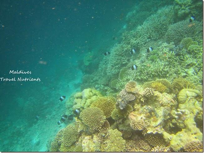 馬爾地夫 野餐島 浮潛 (4)