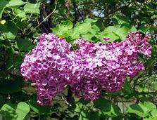 Lilac bush 2014