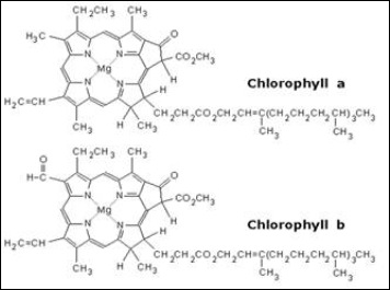 chlorophyll and polar groups Biocoach activity concept 7: chlorophyll chlorophyll molecules embedded in  the thylakoid membrane absorb light energy these molecules are the most.