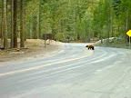 Bear, North of Yosemite, CA, USA