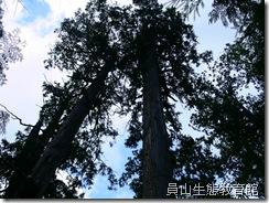雄偉的樹林