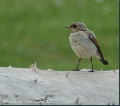 1-juv-wheatear