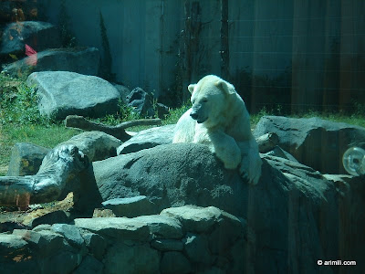 Baltimore zoo-Polar Bear.JPG