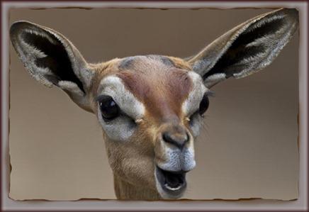 Amazing Animal Pictures Gerenuk (5)